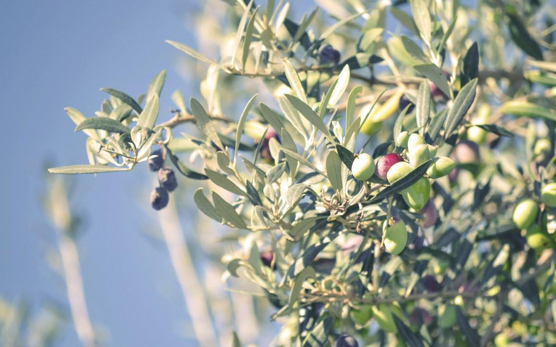 Comienza la nueva campaña de aceituna en Castilla-La Mancha