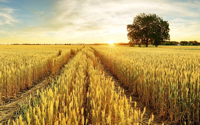 La producción de cereales en Castilla-La Mancha superará los cuatro millones de toneladas