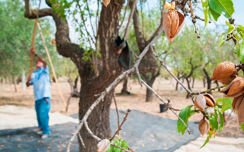 Castilla-La Mancha camina hacia un modelo agrícola más sostenible, con una producción de almendro y pistacho ecológicos al alza